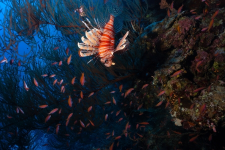 pterois volitans: A young Lionfish hunts deep off a coral reef wall