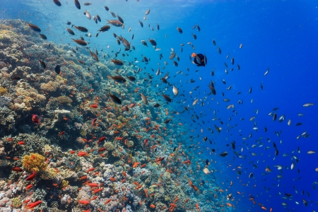 Vivid tropical fish and hard corals on an outer reef wall in clear water