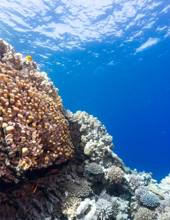 Large porite corals on a shallow coral reef