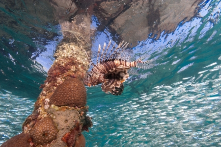 pterois volitans: Lionfish swims arond a jetty leg while silverside bait fish part in the background