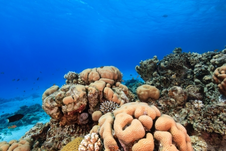 Hard corals and tropical fish on a coral reef in the Red Sea photo