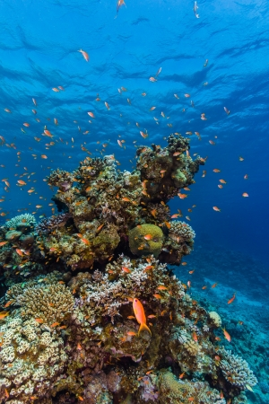 hard coral: Tropical fish around a hard coral pinnacle in the Red Sea Stock Photo
