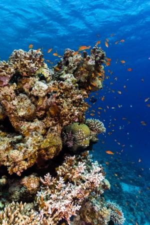 pin�culo: Peces tropicales alrededor de un pin�culo coralino