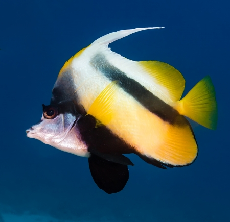 bannerfish: Red Sea Bannerfish with a dark blue background