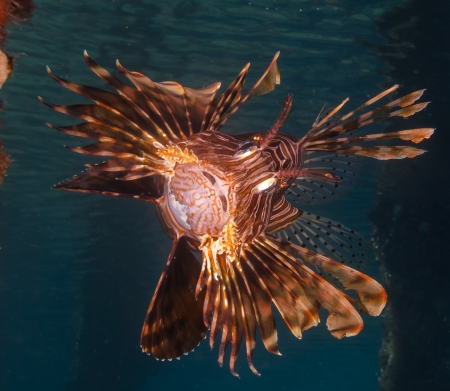 A Lionfish opens its mouth and fans its spines in a show of aggression photo