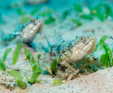 hardcoral: A pair of lizardfish hiding on the sand
