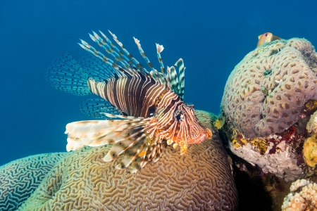 Lionfish naast harde koralen op een tropisch rif