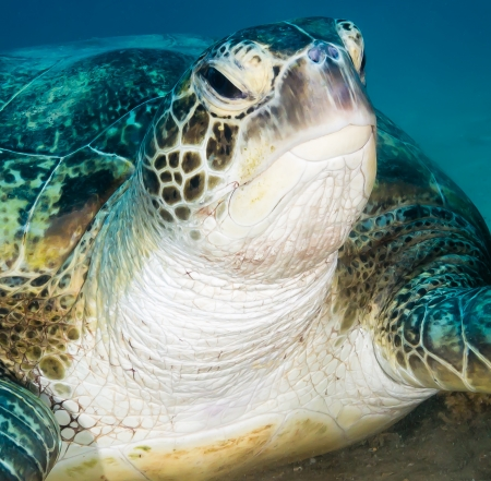 A Green turtle with a grumpy look investigates the camera photo