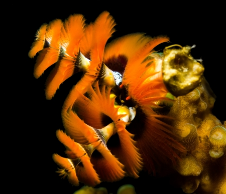 oceanography: Bright orange christmas tree worms on a black background