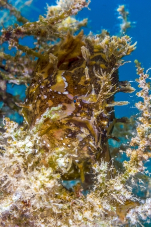 A Sargassum Frogfish lies in wait on a drifting piece of sea weed  Stock Photo