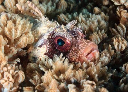 firefish: A Dwarf Lionfish hides amongst soft corals