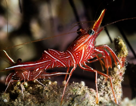 exotic frog: A Colorful Durban Dancing Shrimp sits on a lump of coral