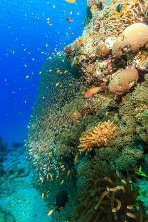 All varieties of tropical fish swim around a large coral pinnacle on a tropical reef photo