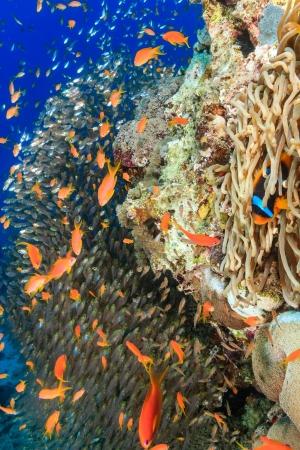 pinnacle: Un pagliaccio, pesci vetro e anthias attorno ad un pinnacolo di corallo