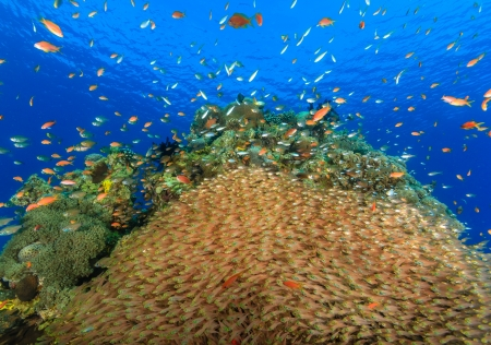 anthias: A large school of glassfish and anthias on a coral reef