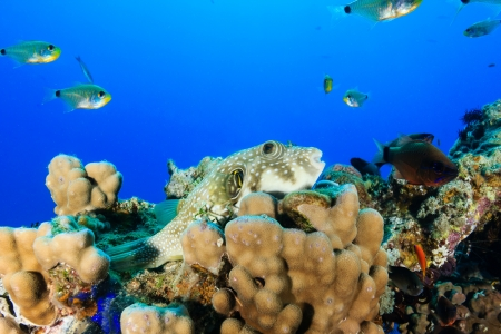 A white spotted puffer on a hard coral on a tropical reef Stock Photo - 17121702