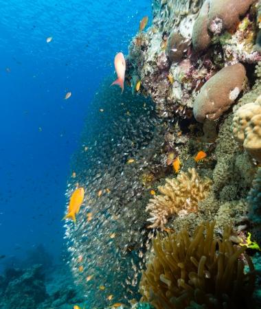 anthias: Glassfish and anthias swim around a coral pinnacle Stock Photo