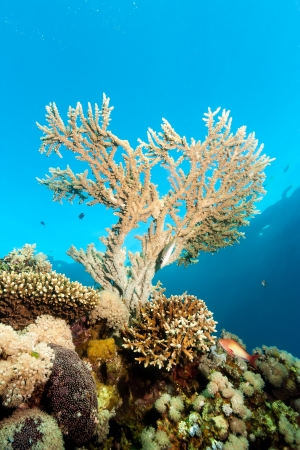 A small acropora staghorn coral grows on a coral reef near the surface photo