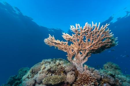 basslet: Un peque�o coral cuerno de ciervo crece cerca de la superficie de un arrecife de coral