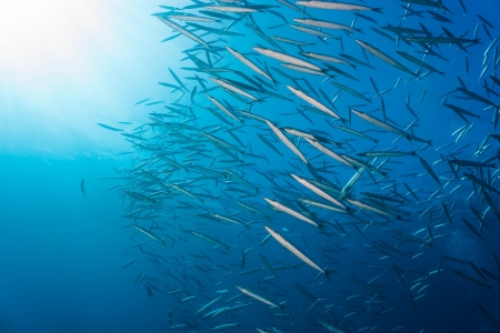 A large shoal of Schooling Barracuda near the sunlit surface of the sea