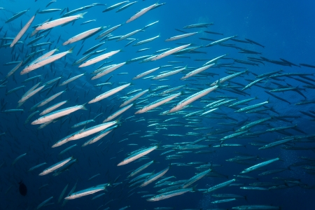 A large school of Barracuda in blue water Stock Photo