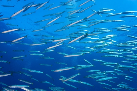 A group of schooling Baracuda near a coral reef Stock Photo