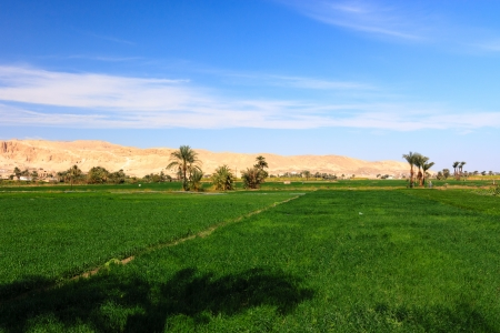 Bright green fields contrast with the nearby dry yellow desert mountains in Luxor, Egypt