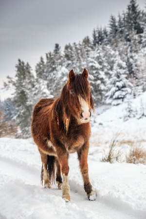 A wild mountain pony in a snow and tree covered rural winter landscape photo
