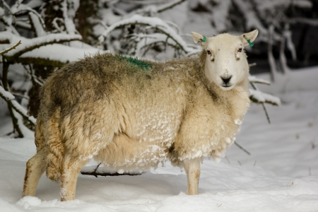 lambing: Pregnant sheep standing in deep snow on a winters day Stock Photo