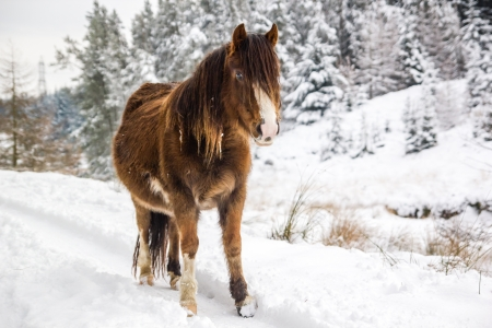 A mountain pony stands in front of snow covered trees photo