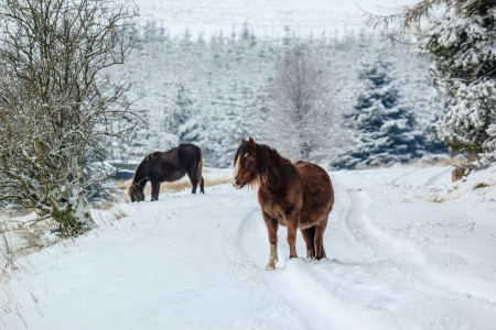 Two wild mountain ponies on a snow landscape Stock Photo - 17530091