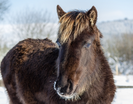 A young wild mountain pony in the snow photo