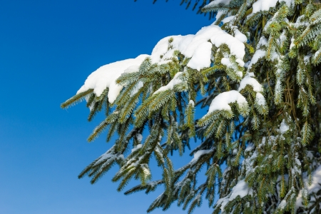 settles: Snow settles onto pine tree leaves with a blue sky background