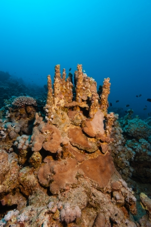 hardcoral: Finger corals growing on a tropical coral reef