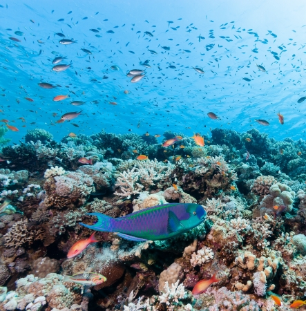 A Parrot fish swims around a tropical coral reef