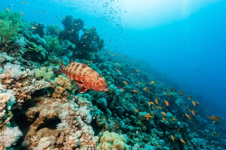 A Coral Grouper swims around a coral reef Stock Photo