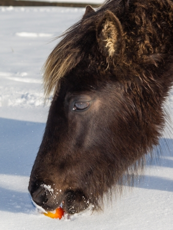 A wild pony eating a red apple in deep snow Stock Photo