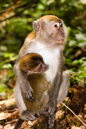 Mother and baby Macaque monkeys in the rainforest of Sumatra photo