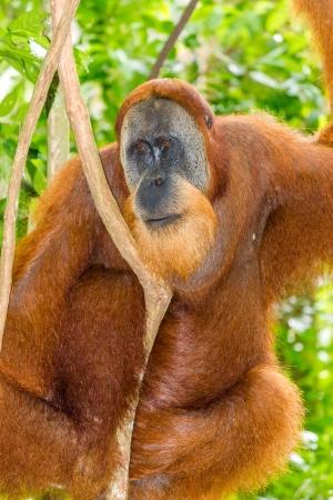orang: A large male wild orangutan in a tree in the rainforest