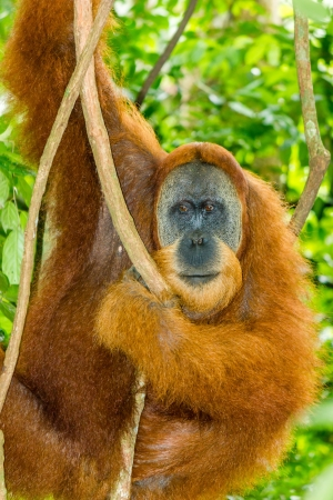 A large wild male Orangutan hanging in a tree Stock Photo