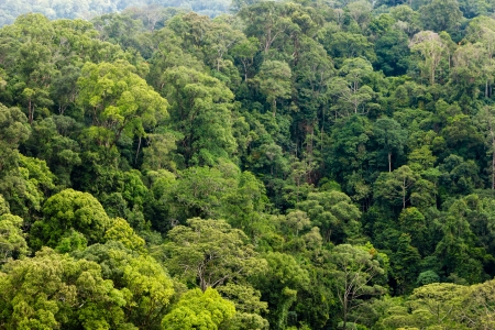 Treetrops of a tropical rainforest canopy