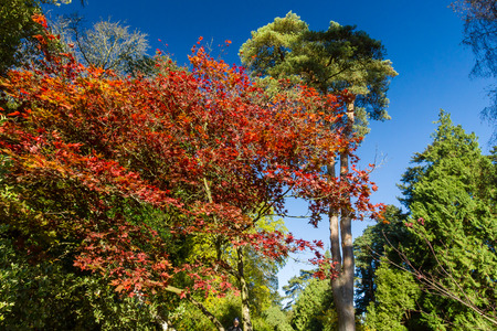 acer: Multi coloured trees and leaves in autumn