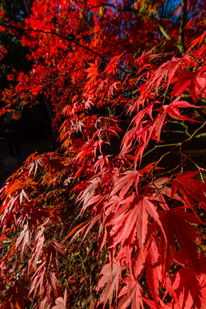 Red Acer leaves in autumn photo