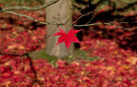 acer palmatum: Red acer leaves in autumn