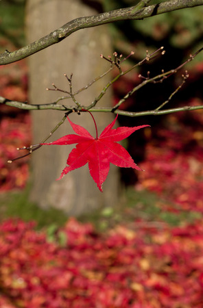 red maple leaf: Single red maple leaf on a tree in autumn Stock Photo