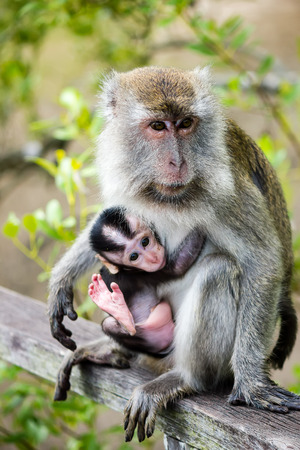 Mother and baby Macaque monkeys