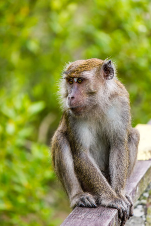 Macaque on a wooden handrail photo