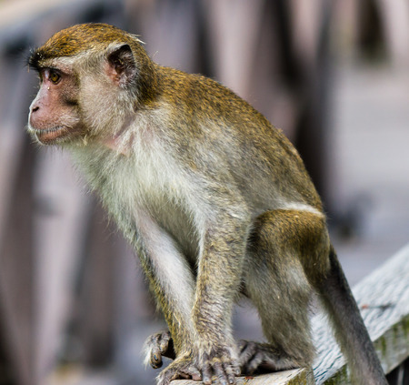 tailed: Macaque monkey Stock Photo