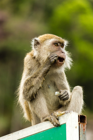 Macaque Monkey feeding whilst sitting on a metal sign photo