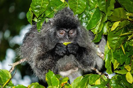 gremlin: Silver Leaf Monkey feeding in a jungle tree